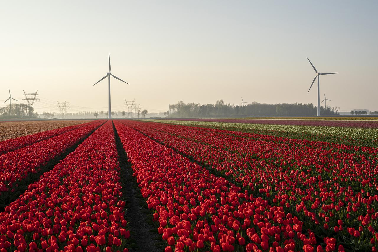 16 april tot 10 mei Tulpenroute Flevoland